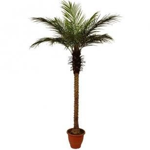 Mākslīgais augs Palmu koks 2 210cm