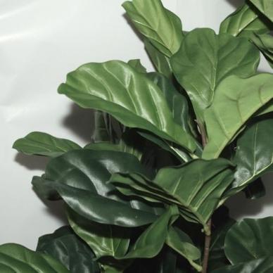 Mākslīgais augs Figa 150cm 2
