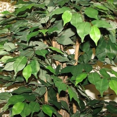 Dirbtinis augalas Fikusas 180cm 2