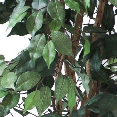 Dirbtinis augalas Fikusas 150cm 3