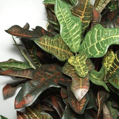 Dirbtinis augalas Krotonmedis 150cm 2