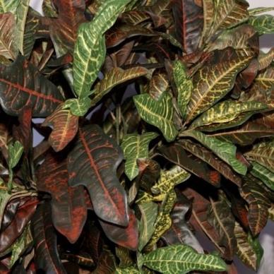 Kunstlik Croton 150cm 3